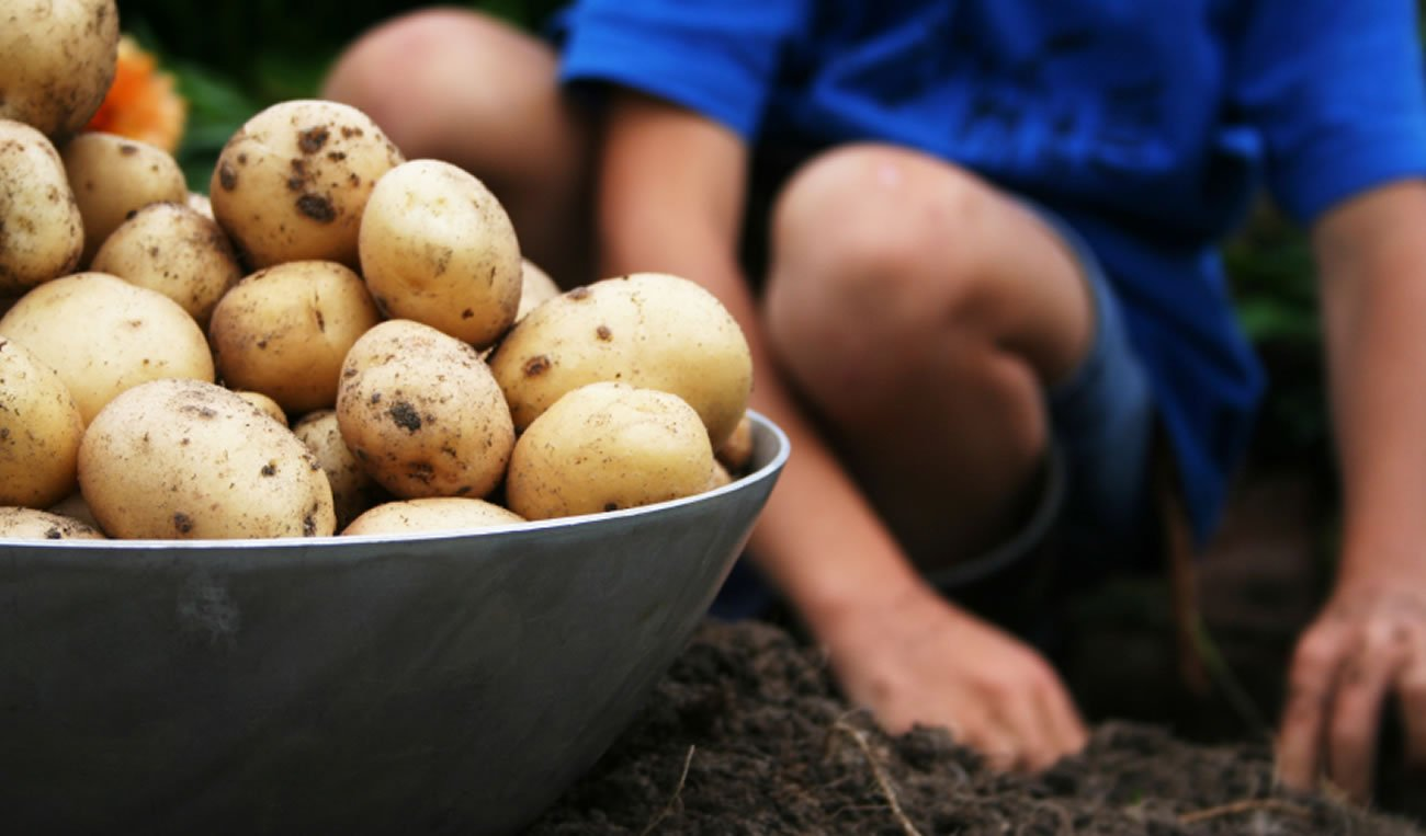 Potatoes are good for weight loss and health.