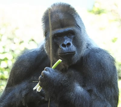 One could ask a mountain gorilla if he is getting enough protein on a plant based diet to build and maintain muscle mass.