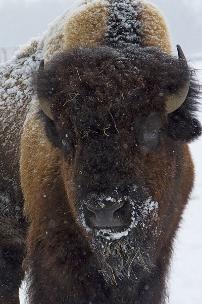 Bison is a healthier red meat.