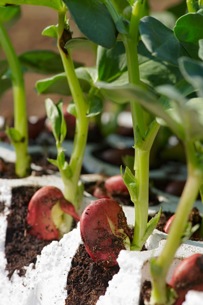 Fava Bean Growing Season
